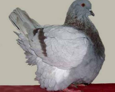 burung merpati untuk konsumsi mondaine