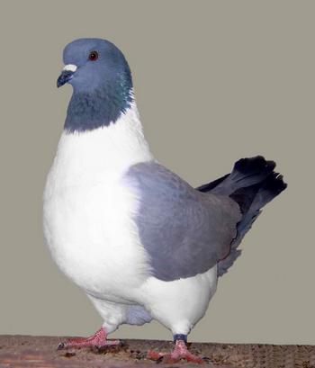 burung merpati strasser
