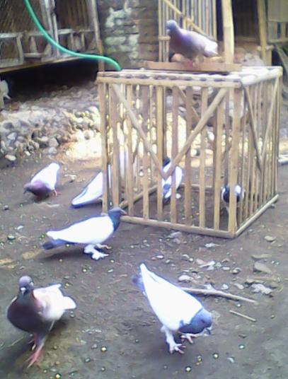 burung-burung merpati makan