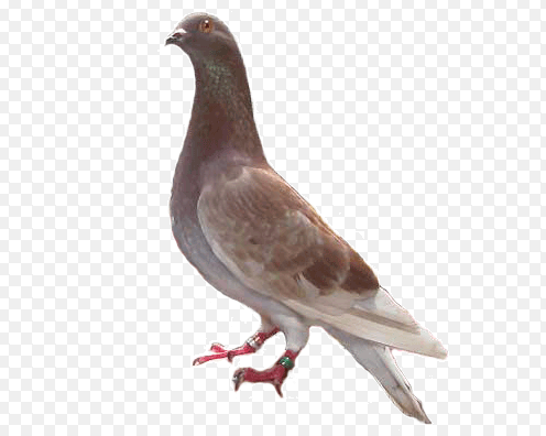 burung merpati bagus