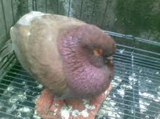 burung merpati sakit