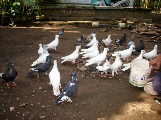 burung merpati getakan sedang makan