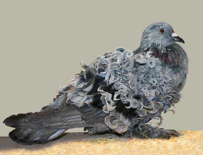dara hias Frillback Pigeon yang ikal bulunya