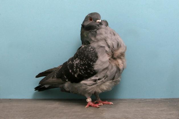 dara hias chinese owl pigeon