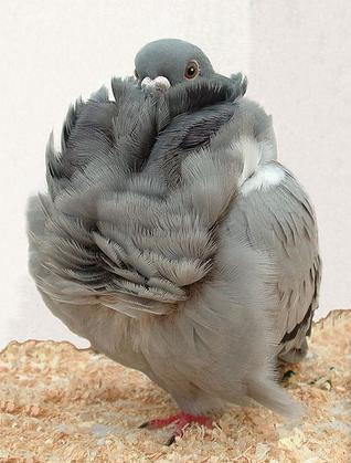 merpati hias chinese owl pigeone