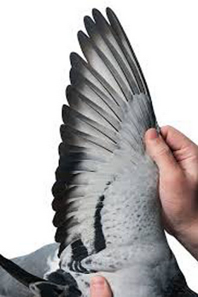 sayap burung merpati balap
