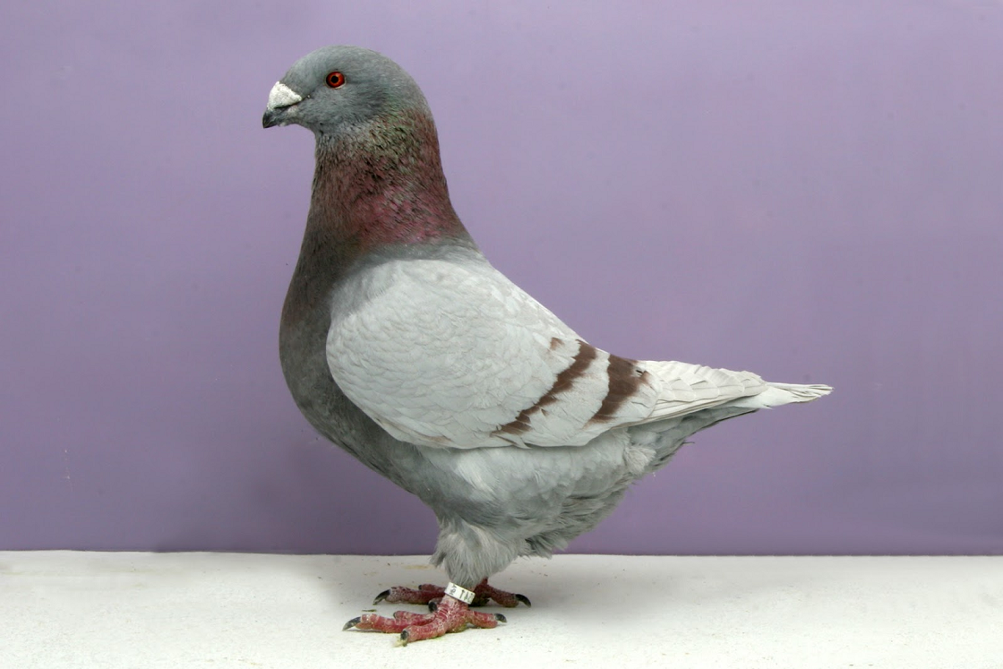 american-giant-homer-pigeon