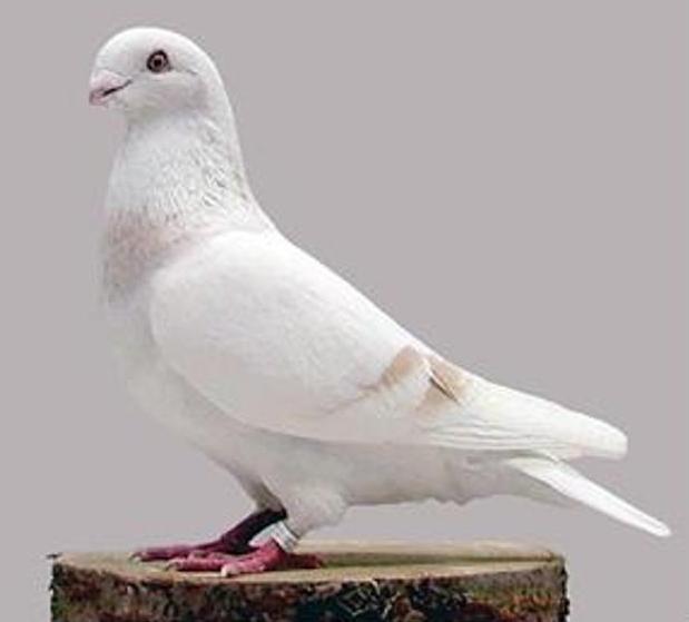 Beauty homer de liege pigeon