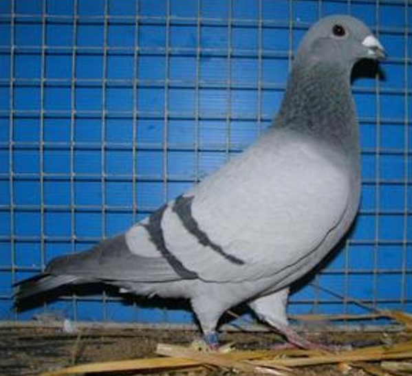 Belgian beauty homer pigeon