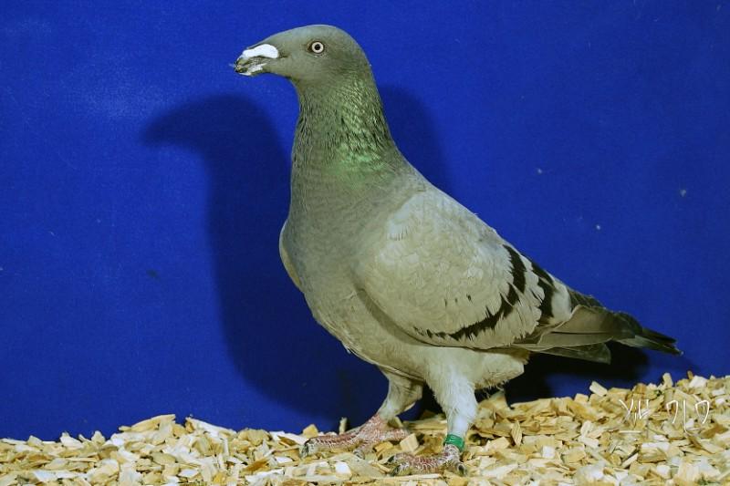 exhibition-homer-pigeon