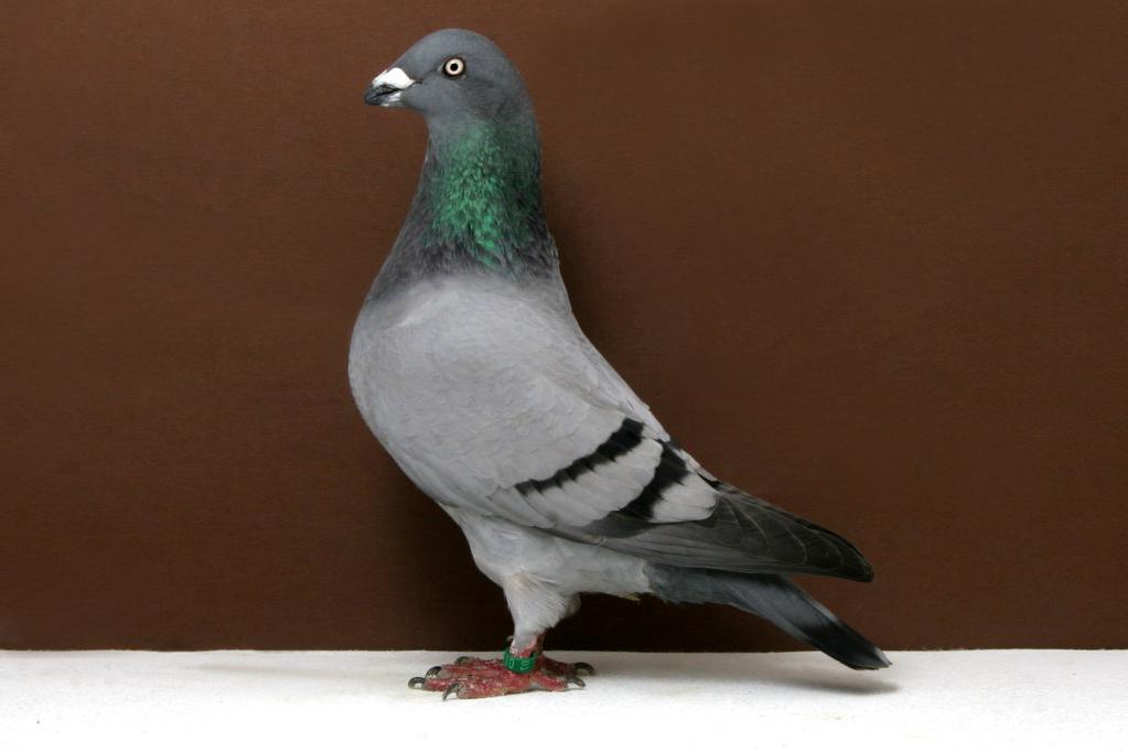 genuine-homer-pigeon