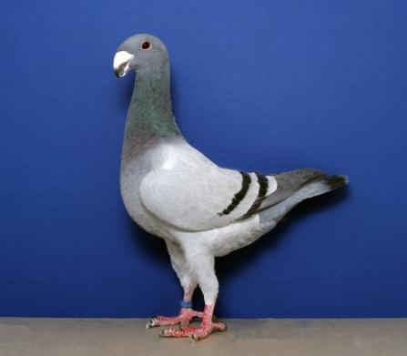 German Beauty Homer Pigeon