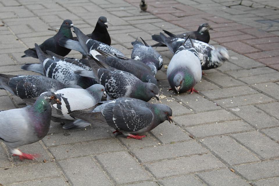 pakan-burung-merpati